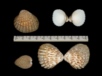 Cardites antiquatus